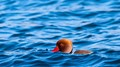 Red-crested pochard at lake of Garlate, Italy