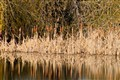 Cattails and water