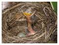 Blackbird hatchling