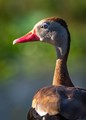 Portrait of a Black-bellied Whistling-Duck at Cullinan Park in Sugarland, Texas!!