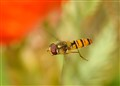 FLIGHT OF THE HOVERFLY