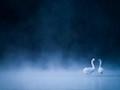 Mute swans in fog