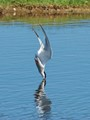 Tern diving for food