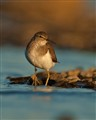 Common sandpiper at dusk