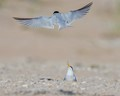 Mom Royal Tern goes to find food for her baby Tern