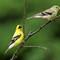 American Goldfinch (m-f) 1 Origwk1_MG_2638