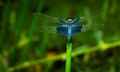 Rhyothemis triangularis Kirby