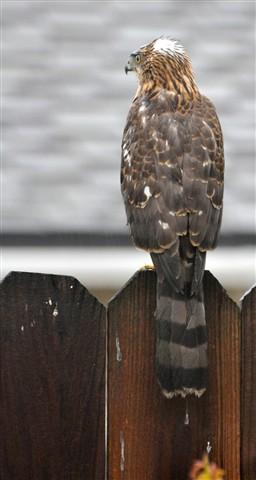 Hawk_1_1600