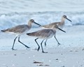 Willets on St. Pete Beach