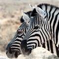 Namibian Zebras