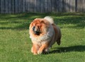 A Chow in his domain!