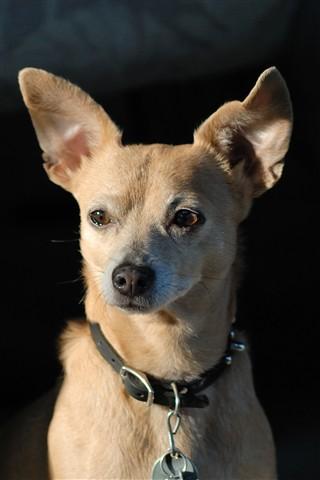 Rudy the Rat Terrier