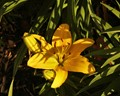 Yellow Splendour