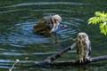 Juvenile Great Horned Owls Take a Bath