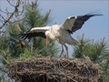 Stork exercising its wings on nest, seen at Le Teich ornithological park on the bassin d'Arcachon, SW France.