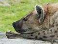 Hyena, Toronto Zoo