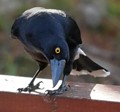 Twisting currawong@