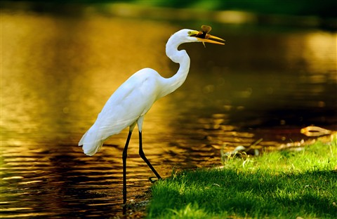 GreatEgret&Fish1