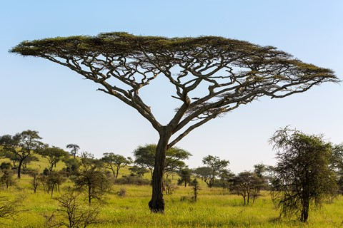 Trees Of The Serengeti Acacia Tortilis Umbrella Thorn Acacia Tree