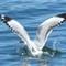 Silver Gull feeding