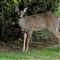 Deer 4-1-2013 A