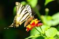 Saint Tropez Butterfly