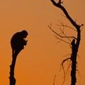 Monkey twilight