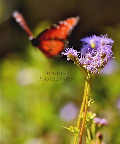 butterflybckgrd