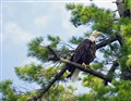 BaldEagle-perched-lakeside
