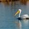 White Pelican 012