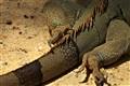 Komodo's Tail