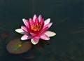 Water Liliie