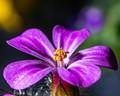 Pollen on purple