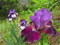 Irises Beside The Apple Tree