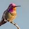 Allen's Hummingbird-10