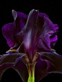 Deep Purple Iris