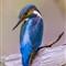 Eisvogel Juli 2013  (83 von 150)