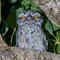 Baby Frogmouth_3654crop