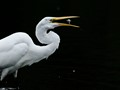 -----the GREAT WHITE EGRET-----