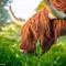 Muckrach Highland Cow