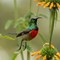 Greater Double Collard Sunbird-1