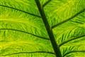 leaf_0156