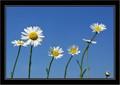 20110522 105304 SEVEN DAISY; Zlin - Priluk