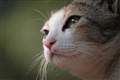 Kintu-The cat