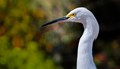 I belive this is the white heron.