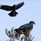 _MG_9106 Eagle and foe