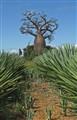 Baobab Madagascar