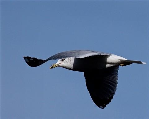 Gull 7 121711