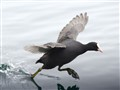 coot in gallop