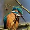 Common Kingfisher: Taken from a public road at a distance of appr. 10 meters (circa 11 Yards)